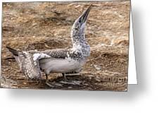Gannet Chick 1 Greeting Card