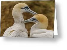 Gannets 4 Greeting Card