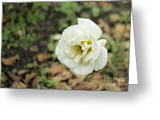 Garden Party Hybrid Tea Rose, White Rose Originally Produced By Greeting Card
