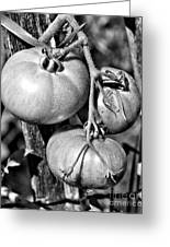 Garden Tomatoes In Black And White Greeting Card