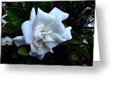 Gardenia 3 Greeting Card
