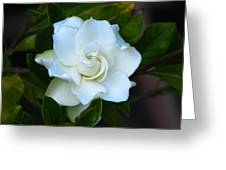 Gardenia 5 Greeting Card