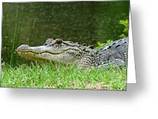 Gator 65 Greeting Card
