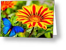 Gazania And Blue Butterfly Greeting Card