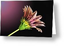 Gazania On Dark Background 2 Greeting Card