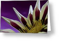 Gazania Petals Greeting Card