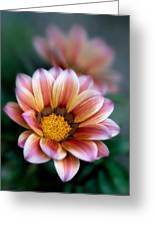 Gazania Petals Vii Greeting Card