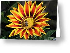 Gazania With Insect Greeting Card