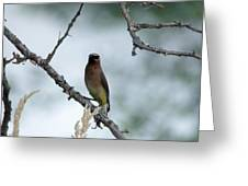 Gaze From A Cedar Wax Wing Greeting Card