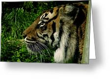 Gaze Of The Tiger Greeting Card
