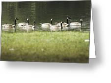 Geese At Spring Meadow Greeting Card