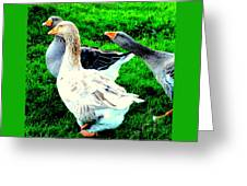 A Couple Of Friendly Geese And One Goose Ready For A Fight  Greeting Card by Hilde Widerberg