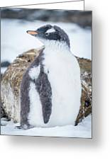 Gentoo Penguin With Turned Head On Snow Greeting Card