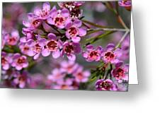 Geraldton Wax Flowers, Cwa Pink - Australian Native Flower Greeting Card