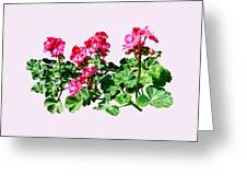 Geraniums In A Row Greeting Card