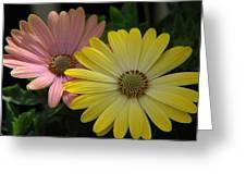 Gerber Daisies Greeting Card
