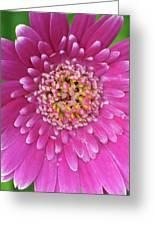 Gerber Daisy - Sweet Memories 01 Greeting Card