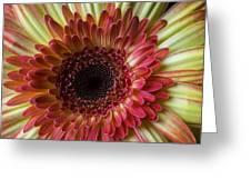 Gerbera Beauty Greeting Card
