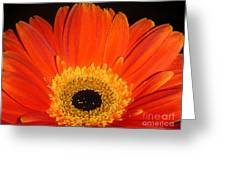 Gerbera Daisy - Glowing In The Dark Greeting Card