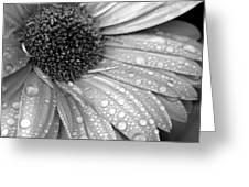 Gerbera Daisy After The Rain 3 Greeting Card