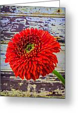 Gerbera Daisy Against Old Wall Greeting Card