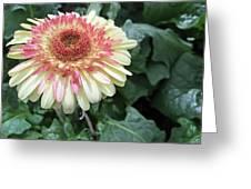 Gerbera Daisy Greeting Card