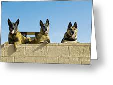 German Shephard Military Working Dogs Greeting Card
