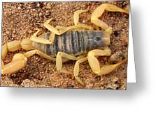 Giant Hairy Scorpion Greeting Card