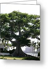 Giant Morton Fig Tree Greeting Card