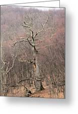 Giant Oak Tree Greeting Card