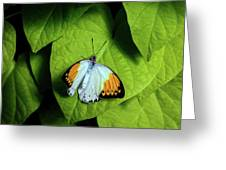 Giant Orange Tip Butterfly Greeting Card