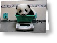 Giant Panda Ailuropoda Melanoleuca Baby Greeting Card