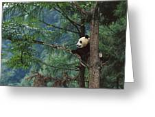 Giant Panda Ailuropoda Melanoleuca Greeting Card by Cyril Ruoso