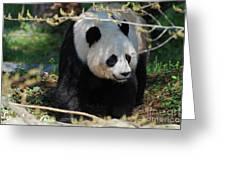 Giant Panda Bear Creeping Under A Tree Branch Greeting Card