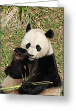 Giant Panda Bear Holding On To Bamboo While Eating Greeting Card