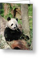 Giant Panda Bear Lounging On Against Tree Trunk Greeting Card