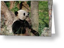 Giant Panda Bear Sitting Up Leaning Against A Tree Greeting Card