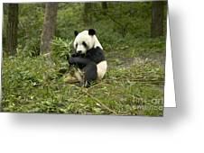Giant Panda Eating Bamboo Greeting Card
