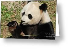 Giant Panda Feeding Himself Shoots Of Bamboo  Greeting Card