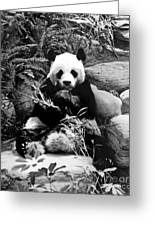 Giant Panda In Black And White Greeting Card
