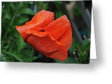 Giant Poppy-2 Greeting Card