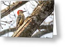 Giant Red Headed Woodpecker  Greeting Card