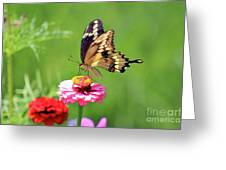 Giant Swallowtail Butterfly On Pink Zinnia Greeting Card