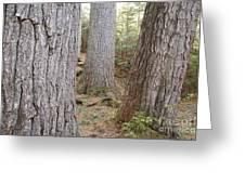 Giant White Pines - White Mountains New Hampshire Greeting Card