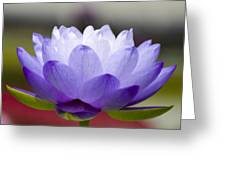 Gigantea Blue Cloud Water Lily Greeting Card