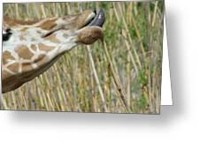 Giraffe Feeding 2 Greeting Card