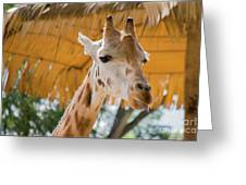 Giraffe In The Zoo. Greeting Card