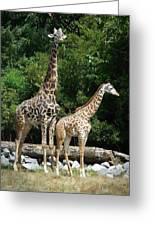 Giraffe, Male And Female Greeting Card