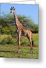 Giraffe On Savanna. Safari In Serengeti Greeting Card
