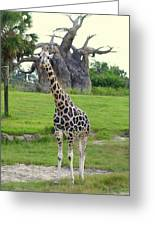 Giraffe With African Baobob Tree Greeting Card